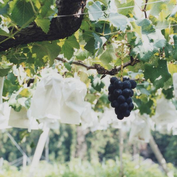 葡萄のふくおか・浅桑園